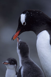 Gentoo Penguin with Chicks by Wolfgang Kaehler
