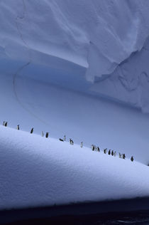 Chinstrap Penguins on Iceberg by Wolfgang Kaehler