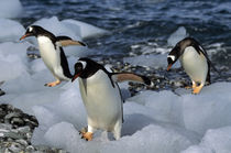Gentoo Penguins on Beach by Wolfgang Kaehler