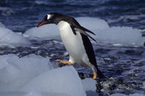 Gentoo Penguin on Beach by Wolfgang Kaehler