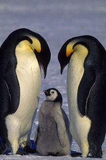 Emperor Penguins with Chick by Wolfgang Kaehler