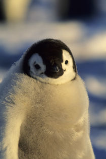 Emperor Penguin Chick by Wolfgang Kaehler
