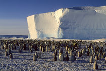 Emperor Penguin Colony by Wolfgang Kaehler