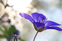 Blaue Blume by Intensivelight Panorama-Edition
