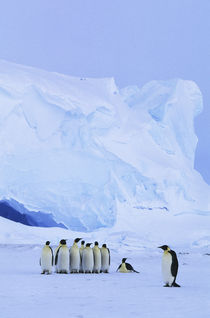 Emperor Penguins by Wolfgang Kaehler