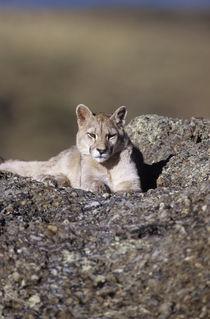 Wild Puma cub 2  von Simon Littlejohn