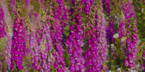 Magenta Foxgloves panorama digital painting by Ed Book
