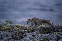 On Patrol at dusk von Simon Littlejohn
