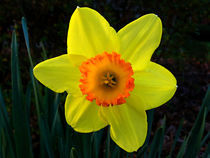 Daffodil-1