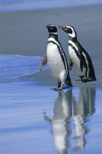 Magellanic penguins on beach von Wolfgang Kaehler