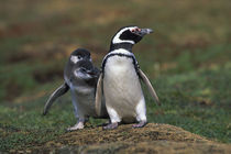 Magellanic penguin with chicks von Wolfgang Kaehler