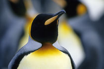 King Penguin portrait by Wolfgang Kaehler