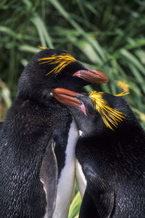 Macaroni penguins by Wolfgang Kaehler