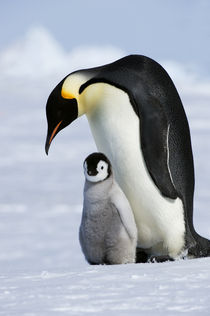 Emperor Penguin with Chick by Wolfgang Kaehler