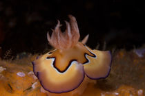 Nudibranch-chromodoris-coi-2