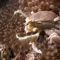 Anemone-crab