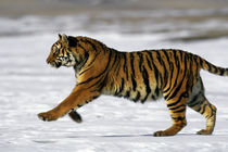 Running Tiger by Wolfgang Kaehler