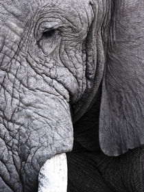 South Africa: Kruger National park. African Elephant bull close-up. Black and White von Yolande  van Niekerk