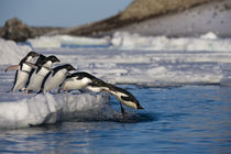 Jumping Adelie Penguins by Wolfgang Kaehler