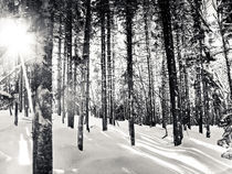 Black & White Forest by Vincent Demers