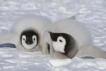 Two Emperor Penguin Chicks by Wolfgang Kaehler