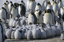 Emperor Penguin Chicks Huddle by Wolfgang Kaehler
