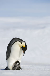 Emperor Penguin with Chick on Feet by Wolfgang Kaehler
