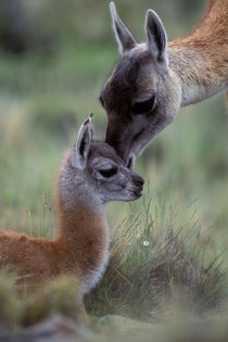 Guanaco Baby and Mother by Wolfgang Kaehler