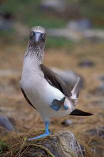 Blue-footed booby by Wolfgang Kaehler