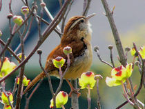 Wren Sings of Spring von Deborah Willard