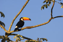 TOCO TOUCAN by Wolfgang Kaehler