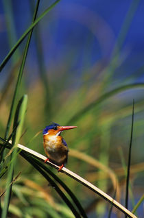 MALACHITE KINGFISHER PERCHED ON REED by Wolfgang Kaehler