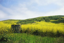 Mustard flowers in spring, California by Melissa Salter