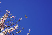 Butterfly and Cherry Blossoms by Melissa Salter