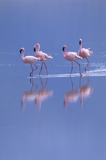 Flamingo Reflections by Wolfgang Kaehler