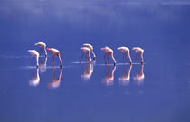 Feeding Flamingos by Wolfgang Kaehler