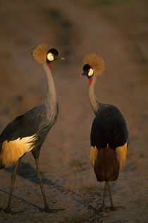Crowned Cranes by Wolfgang Kaehler