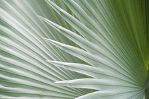 Palm Leaf by Wolfgang Kaehler