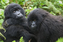 Gorilla Youngsters by Wolfgang Kaehler