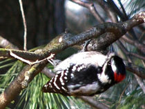 Downy Woodpecker von Deborah Willard