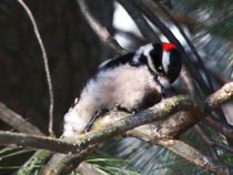 Downy Woodpecker at Work by Deborah Willard