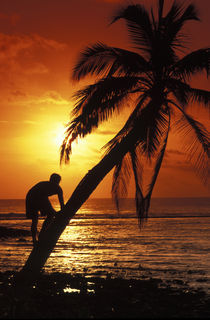 Coconut tree climber by Sean Davey
