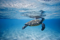breathing turtle by Sean Davey