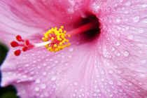 Pink Hibiscus by Sean Davey