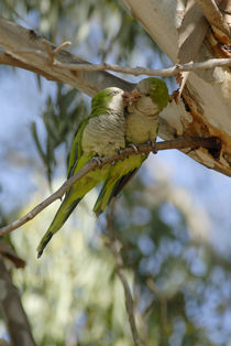 Lorikeets Kissing 1 von Simon Littlejohn