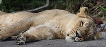Löwenmutter von Roger Andre Bauer