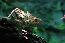 Kameleon by Roger Andre Bauer