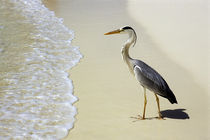 Grey Heron on White Sand Beach von Wolfgang Kaehler