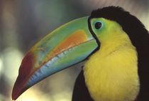 CA, Costa Rica Toucan close-up von Danita Delimont