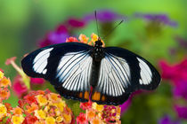 Sammamish Washington Tropical Butterflies photograph of Hypolimnas usambara von Danita Delimont